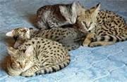 Саванна,  сервала,  Бенгалии,  рысь,  synx,  оцелот котят